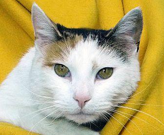 Domestic Shorthair Cat for adoption in Renfrew, Pennsylvania - Pretty Girl
