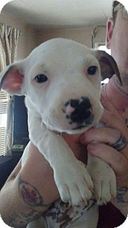 Boxer Mix Puppy for adoption in Thousand Oaks, California - Enzo