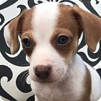 Adopt A Pet :: Bradley Bugatti - Houston, TX