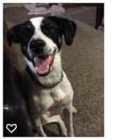 Rat Terrier/Pointer Mix Dog for adoption in San Antonio, Texas - Biggio