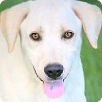 Adopt A Pet :: ARTHUR(GORGEOUS PB LAB PUPPY!! - Wakefield, RI