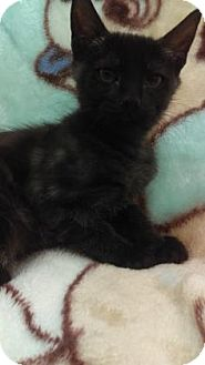 Domestic Shorthair Kitten for adoption in Gulfport, Mississippi - Molly