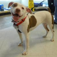 American Staffordshire Terrier Mix Dog for adoption in Irmo, South Carolina - Star