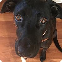 Adopt A Pet :: PEBBLES - Los Angeles, CA