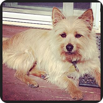 Cairn Terrier/Yorkie, Yorkshire Terrier Mix Dog for adoption in Aurora, Colorado - Chubaka