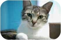 Domestic Shorthair Cat for adoption in Marietta, Georgia - Max