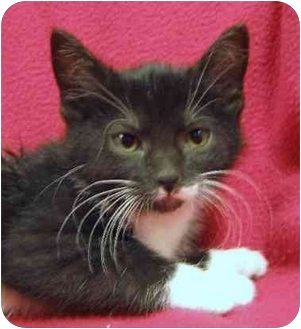 Domestic Shorthair Kitten for adoption in Fairmont, Minnesota - Sillea