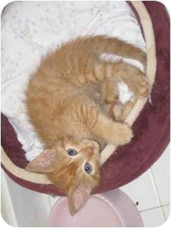 Domestic Shorthair Kitten for adoption in Troy, Michigan - Mango