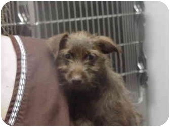 Chihuahua/Chinese Crested Mix Puppy for adoption in Manassas, Virginia - godiva