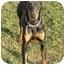 Photo 1 - Doberman Pinscher Puppy for adoption in Arlington, Virginia - Brandy