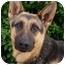 Photo 1 - German Shepherd Dog Puppy for adoption in Los Angeles, California - Daisy von Denzinger
