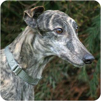 Greyhound Dog for adoption in Portland, Oregon - Annie