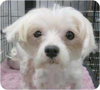 Maltese Dog for adoption in Orlando, Florida - Hannah