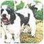 Photo 1 - Cocker Spaniel/Poodle (Standard) Mix Dog for adoption in Winnetka, California - OREO