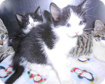 Domestic Shorthair Kitten for adoption in Yuba City, California - 09/21/12 Black & White Girl