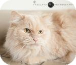 Domestic Longhair Cat for adoption in Jackson, Michigan - Coco