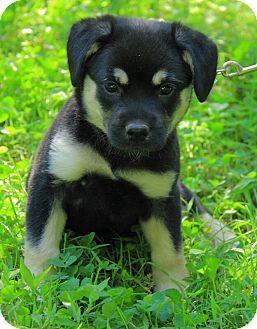 Mastiff/Alaskan Malamute Mix Puppy for adoption in Spring Valley, New York - Temperance