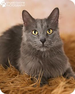 Domestic Longhair Cat for adoption in Eagan, Minnesota - Rosie