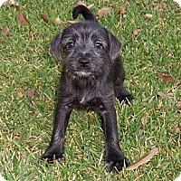 Adopt A Pet :: Julius - La Habra Heights, CA