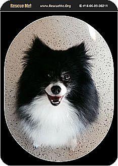 Pomeranian Dog for adoption in Harrisburg, Pennsylvania - Truffle