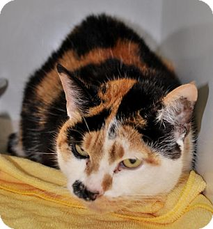 Domestic Shorthair Cat for adoption in West Warwick, Rhode Island - Callie