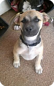 Boxer/Hound (Unknown Type) Mix Puppy for adoption in Childress, Texas - Louise