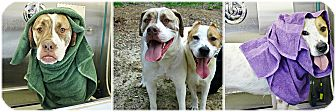American Bulldog Mix Dog for adoption in Forked River, New Jersey - Hercules & Thor