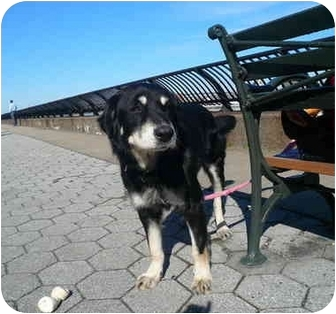 Collie/Shepherd (Unknown Type) Mix Dog for adoption in Brooklyn, New York - Squeaker