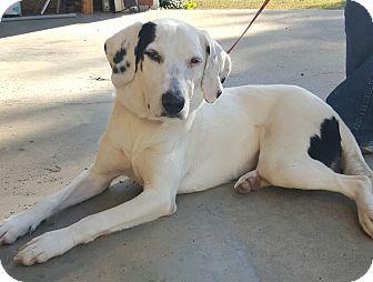 Dalmatian/Labrador Retriever Mix Puppy for adoption in Buffalo, New York - Polly