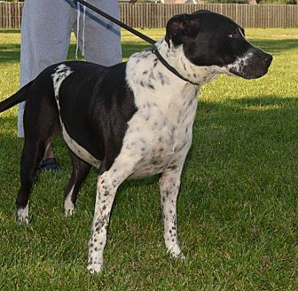 Labrador Retriever/American Pit Bull Terrier Mix Dog for adoption in Beaumont, Texas - FRECKLES
