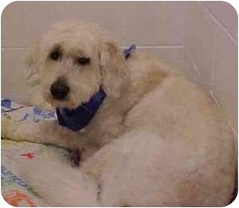 Poodle (Standard)/Golden Retriever Mix Dog for adoption in Spokane, Washington - Buddy