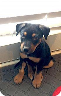 Shepherd (Unknown Type)/Rottweiler Mix Puppy for adoption in Alpharetta, Georgia - Brysen
