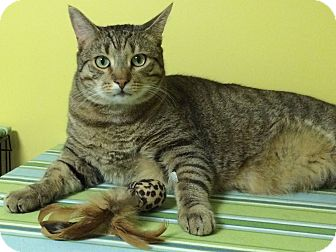 Domestic Shorthair Cat for adoption in Medway, Massachusetts - Iggy