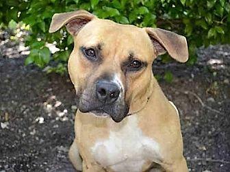 American Staffordshire Terrier Dog for adoption in Los Banos, California - Jaydee