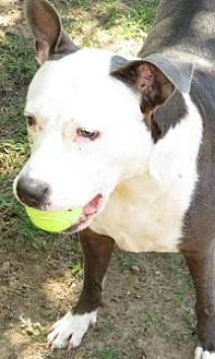 American Pit Bull Terrier Mix Dog for adoption in Dallas, Texas - Hope Grey/White Pit