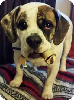 American Bulldog/English Bulldog Mix Dog for adoption in Concord, Ohio - Charlie