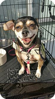 Chihuahua/Pug Mix Dog for adoption in Ogden, Utah - Angel
