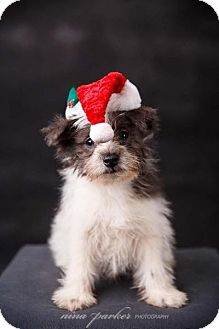 Schnauzer (Miniature)/Pomeranian Mix Puppy for adoption in Atlanta, Georgia - Tate