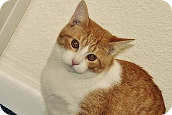 Domestic Shorthair Cat for adoption in Lakeland, Florida - quentin