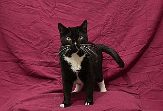 American Shorthair Cat for adoption in Chattanooga, Tennessee - Bellatrix