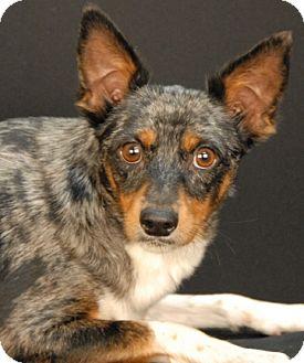 Australian Cattle Dog Mix Dog for adoption in Newland, North Carolina - Nike