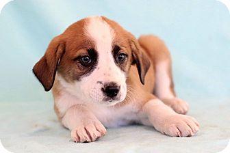 St. Bernard Mix Puppy for adoption in Waldorf, Maryland - Uri