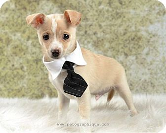 Jack Russell Terrier/Chihuahua Mix Puppy for adoption in Las Vegas, Nevada - Mel