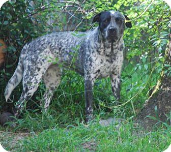 American Bulldog/Australian Cattle Dog Mix Dog for adoption in Houston, Texas - Mickayla