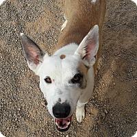 Adopt A Pet :: Royale - Buckeye, AZ