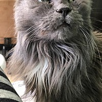 Domestic Longhair Cat for adoption in Blaine, Minnesota - Ashton