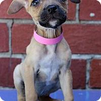 Adopt A Pet :: Beetle - Waldorf, MD