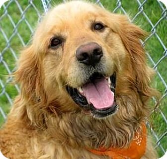 Golden Retriever Puppy for adoption in Oswego, Illinois - I'M ADOPTED Rizzo Demir