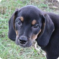 Adopt A Pet :: Tyson - Millersville, MD