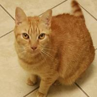 Domestic Shorthair/Domestic Shorthair Mix Cat for adoption in Staley, North Carolina - Taz